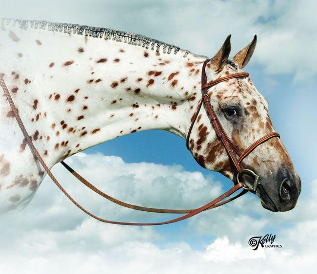 World and National Champion ApHC Stallion Spot My Blue Boy